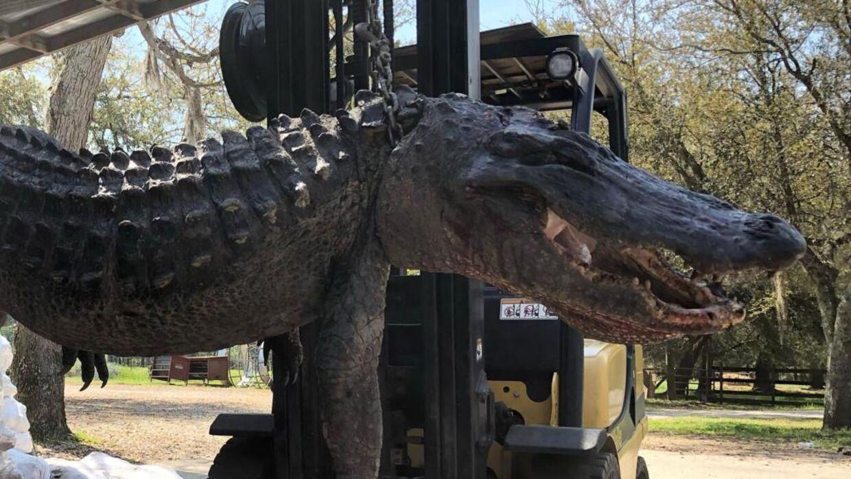 Det gemte sig flere underlige ting i maven på alligatoren.