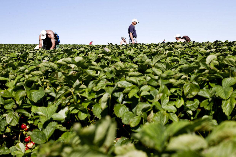 Mange østeuropæere kommer til Danmark og udfører manuelt arbejde i landbruget i en sommer sæson. Det kan f.eks. være som jordbærplukkere (Foto: Bax Lindhardt/Ritzau Scanpix)