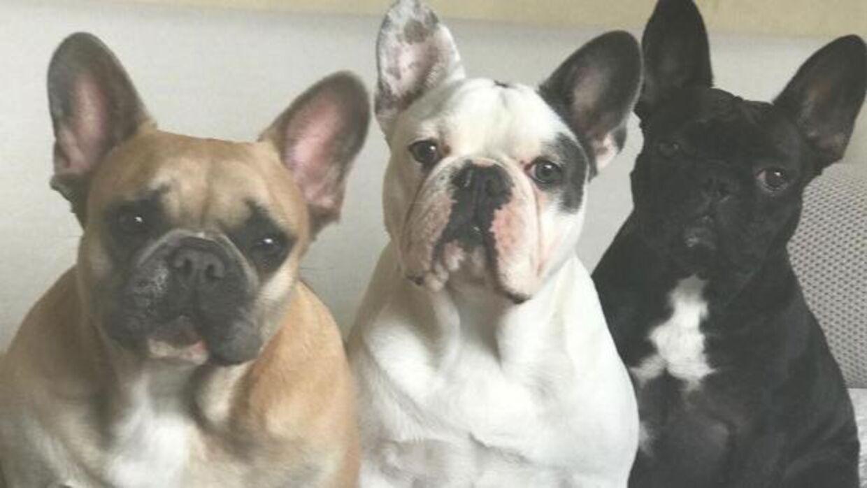 Lady Gagas franske bulldogs. (Foto: Instagram)