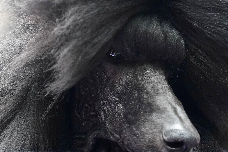 Her ses en puddelhund, Siba, ved en hundeudstilling i New York, USA.