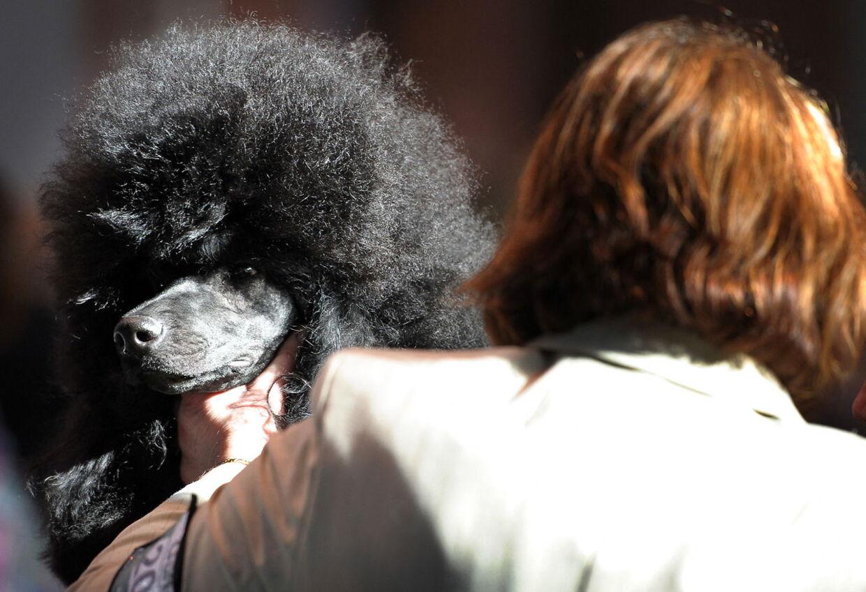 En puddelhund bliver forberedt på et show i England.