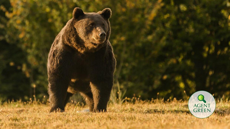 Her er den berømte bjørn, som angiveligt et blevet skudt af prinsen. (Foto: Agent Green)