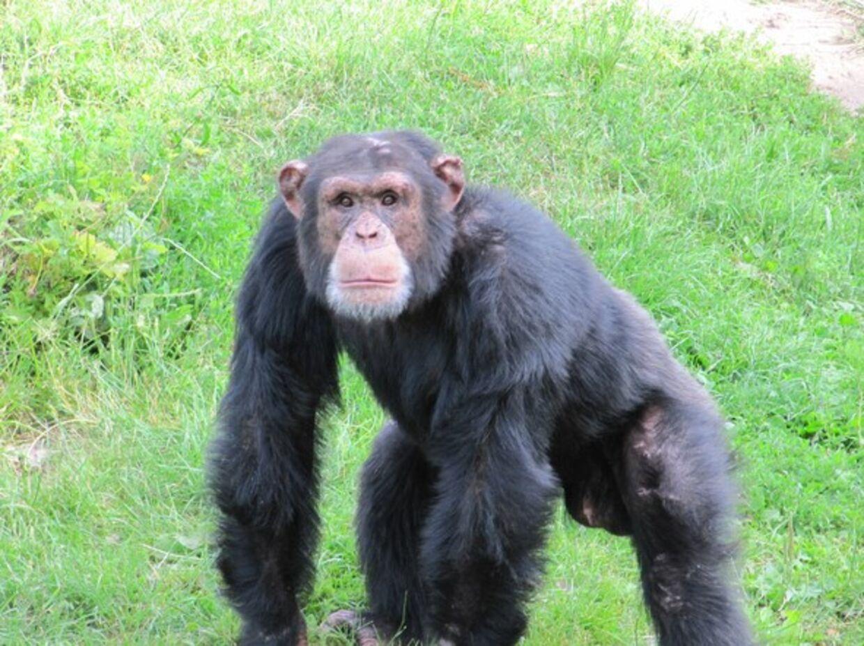 Chimpansen Ricardo, der døde i 2017.