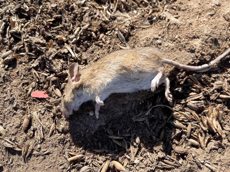 De døde mus hober sig op i tusindtal, og de lokale klager over en ulidelig stank.