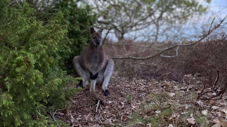 Her ses den lille kænguru, der var er på fri fod i Øster Hurup.