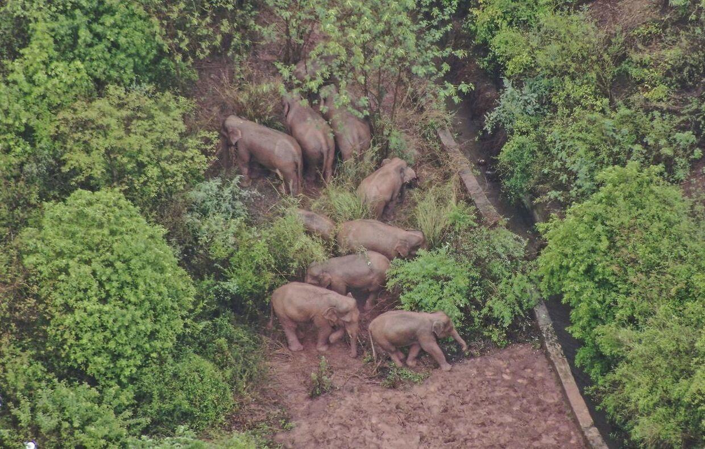 Elefanterne har været undervejs i godt et år. De har gået 500 kilometer på den tid.