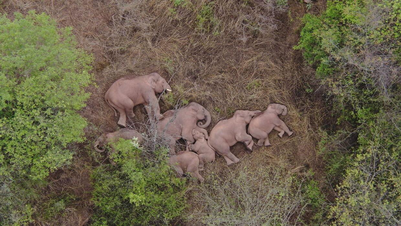 Her får de vilde elefanter sig en lur i Jinning-distriktet nær Kunming.