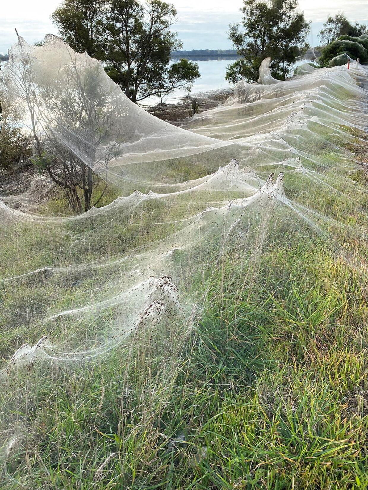Spindene spreder sig over et større område.