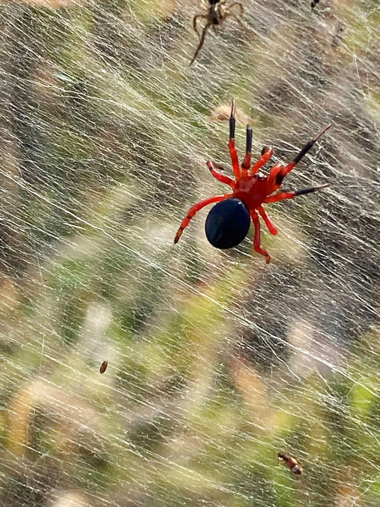 En af edderkopperne på de mange sammenflettede spind.