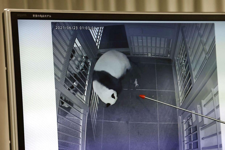 Pandaen Shin Shin er ved at føde den første tvilling.