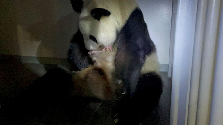 Pandaen Shin Shin holder en af sine nyfødte tvillinger i Uena Zoologiske Have i Tokyo 23. juni 2021.