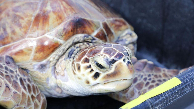 (Arkivfoto) Pangrea Park er glade for, at deres skildpadde snart er tilbage, men de bekymrer sig fortsat om de syv skildpadder, som er i gerningsmandens varetægt. Skildpadden på billeder er ikke involveret i den pågældende sag. Ludovic MARIN / AFP