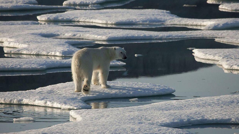 ARKIVFOTO 2009 af isbjørn i Grønland.