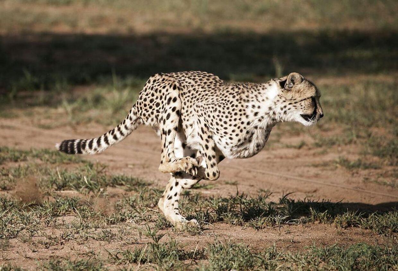 Gepard i løb.