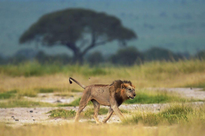 Hanløve på savannen.