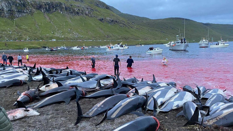 Søndag blev 1.428 delfiner dræbt på Færøerne.
