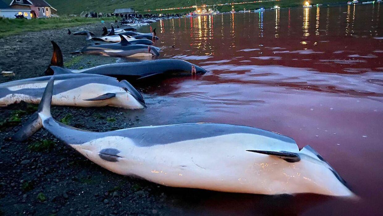 Delfinerne af arten hvidskævinger ligger dræbte på stranden.