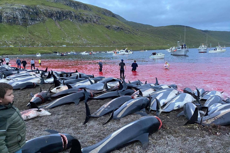 Hundredvis kortnæbede delfiner, der er kendt som hvidsider eller hvidskævinger, er blevet dræbt på Færøerne ved en enkelt aktion, som bliver stærkt kritiseret af miljøgrupper. Uncredited/Ritzau Scanpix