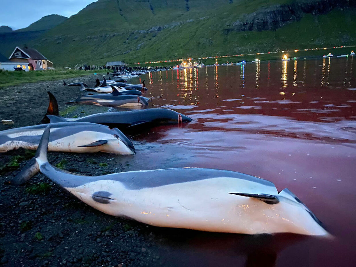 In this image released by Sea Shepherd Conservation Society the carcasses of dead white-sided dolphins lay on a beach after being pulled from the blood-stained water on the island of Eysturoy which is part of the Faeroe Islands Sunday Sept. 12, 2021. The dolphins were part of a slaughter of 1, 428 white-sided dolphins that is part of a four-century-old traditional drive of sea mammals into shallow water where they are killed for their meat and blubber. The hunt in the North Atlantic islands is not commercial and is authorized, but environmental activists claim it is cruel. (Sea Shepherd via AP). (Foto: Uncredited/Ritzau Scanpix)