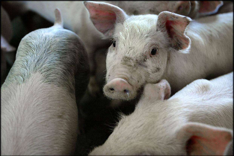 DanBred arbejder inden for grisegenetik. Selskabet havde sidste år en omsætning på 1,2 milliarder kroner (Arkivfoto). Henning Bagger/Ritzau Scanpix