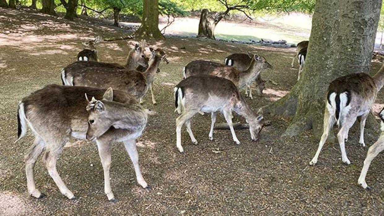 Hjortene går frit rundt i Marselisborg Dyrehave.