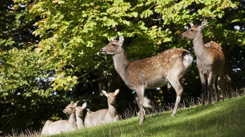 I Marselisborg Dyrehave går dyrene frit rundt mellem mennesker, der besøger parken.