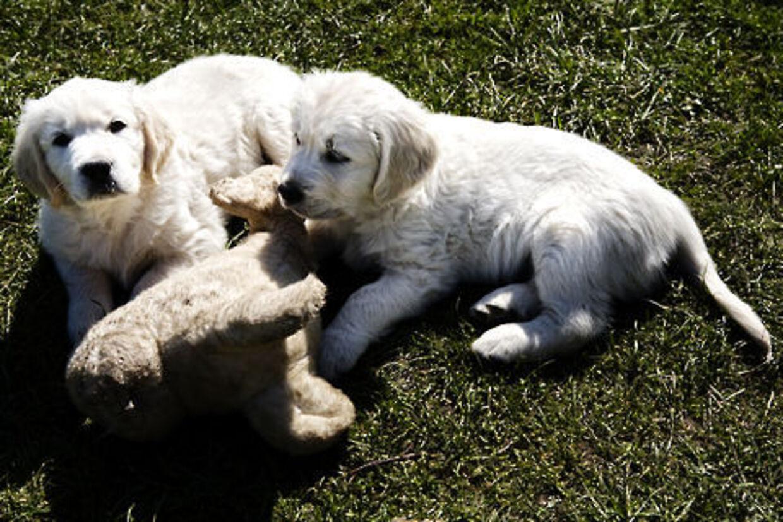 De fleste mennesker smiler, når de ser en hundehvalp. Og hvalpeterapi gør faktisk underværker mod dårligt humør. Her er det 'Kiwi' sammen med brormand.
