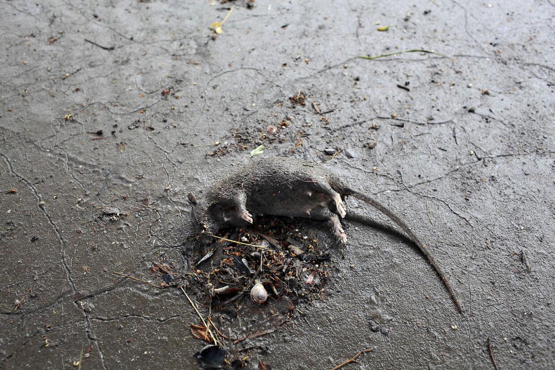døde rotter
