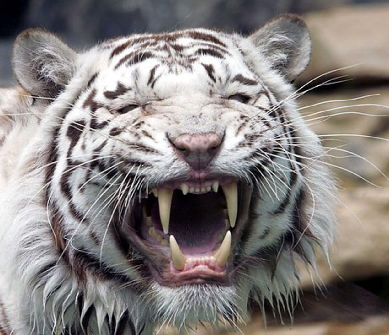 Fredelig ser den ud, men det er den hvide tiger kan også vise sig som en koldblodig dræber.
