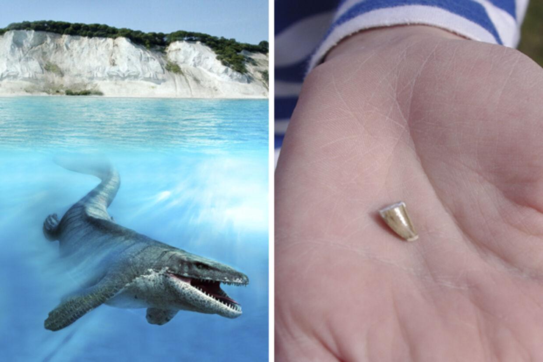 10-årige Malte holder tanden fra den op til 18 meter store Mosasaur (tv.)