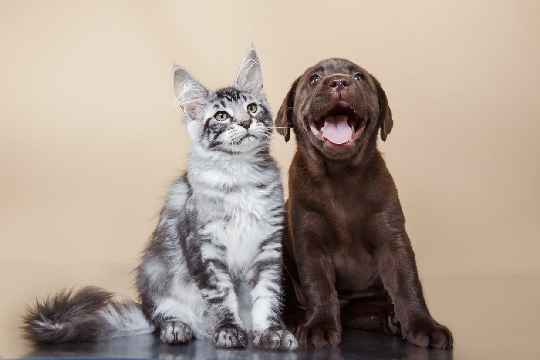 Et nyt studie viser, at hunde holder op mod fem gange så meget af deres ejere end katte. Modelfoto.