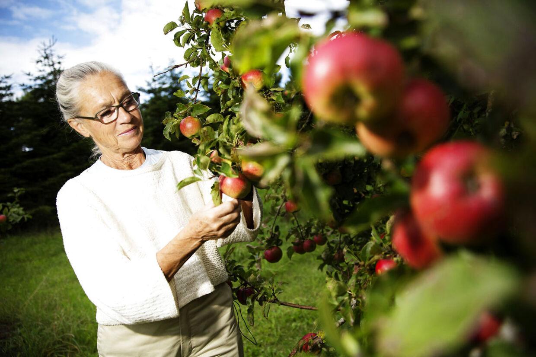 Ritt Bjerregaard, der her er fotograferet i sin æbleplantage ved en tidligere lejlighed, er ramt af kræft.
