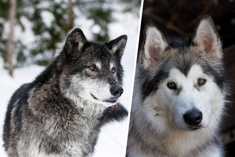 fra ulv til hund