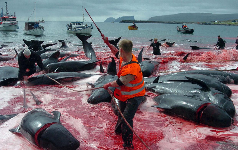 Færingerne fanger hver sommer grindehvaler, som de driver ind i en bugt og slagter. Billeder som dette (arkivfoto fra 5. juni 2012) får dyreværnsfolk op i det røde felt.