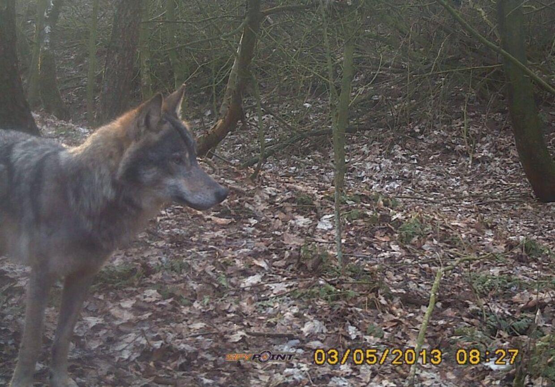 Det hidtil bedste foto af en ulv i Danmark er taget med et vildtkamera mellem Skave og Stendis den 5. marts af en lokal jæger, Kris Stadsbjerg Hansen. »Flot dokumentation,« lyder det fra eksperterne.