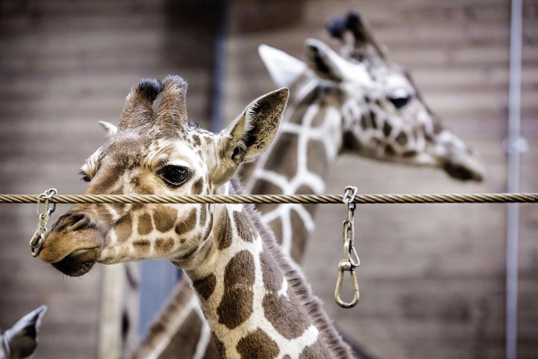Giraffen Marius er ikke længere i giraf-buret. Tirsdag 11. februar 2014, Zoologisk Have - ZOO, København.