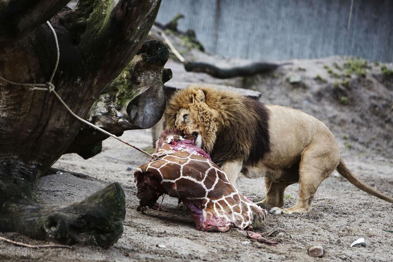 Giraffen Marius blev aflivet, slagtet og fodret til løverne i København Zoo. Hans gener passede ikke ind i flokken, og det var ikke muligt at finde et nyt hjem til ham på grund af et avlsprogram, der skal sikre sunde dyr i fremtiden.