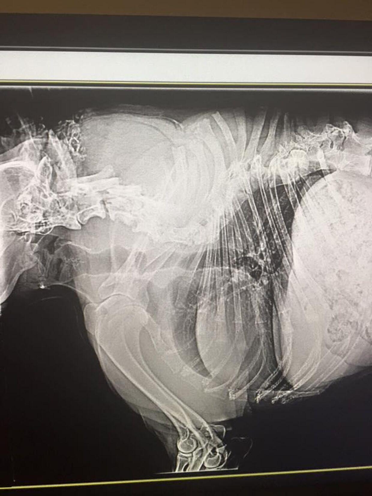 Her ses et røntgenfoto af hundens rygsøjle.