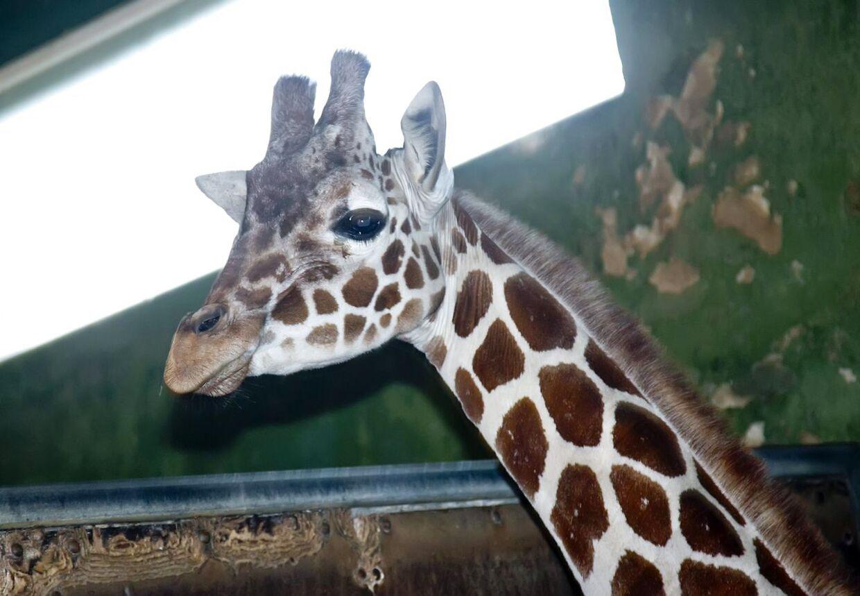 Jobindexs aprilsnar om en ny kollektion giraftasker ved navn 'Marius' er nu trukket tilbage efter kæmpe læserstorm.