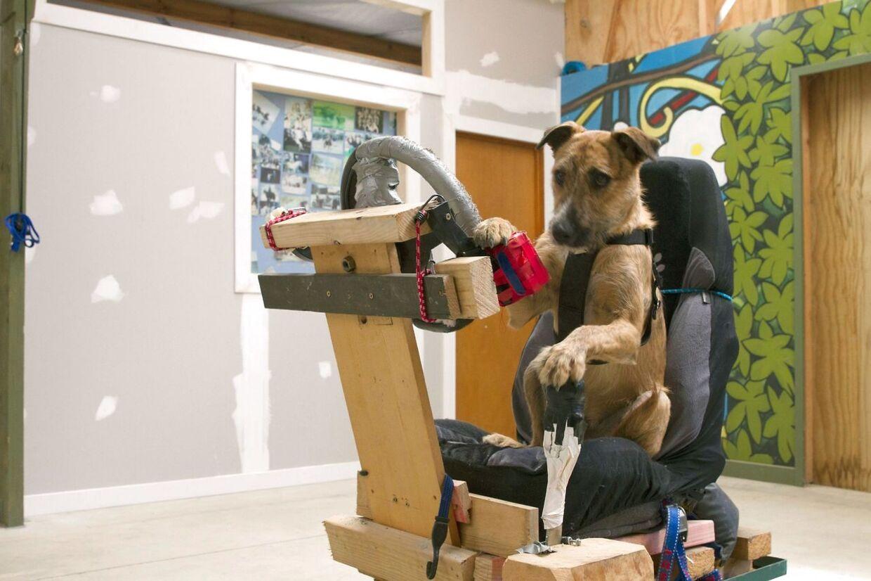 Tre herreløse hunde bliver i øjeblikket undervist i at køre bil af Foreningen for Forebyggelse af dyremishandling i New Zealand.