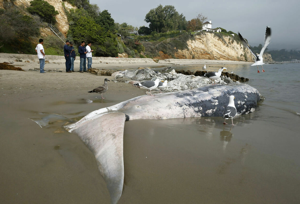 People look at a dead 20-ton 41-foot male fin whale, washed up on the beach near luxury homes in Malibu, California, December 6, 2012. REUTERS/Lucy Nicholson (UNITED STATES - Tags: SOCIETY ANIMALS ENVIRONMENT TPX IMAGES OF THE DAY)
