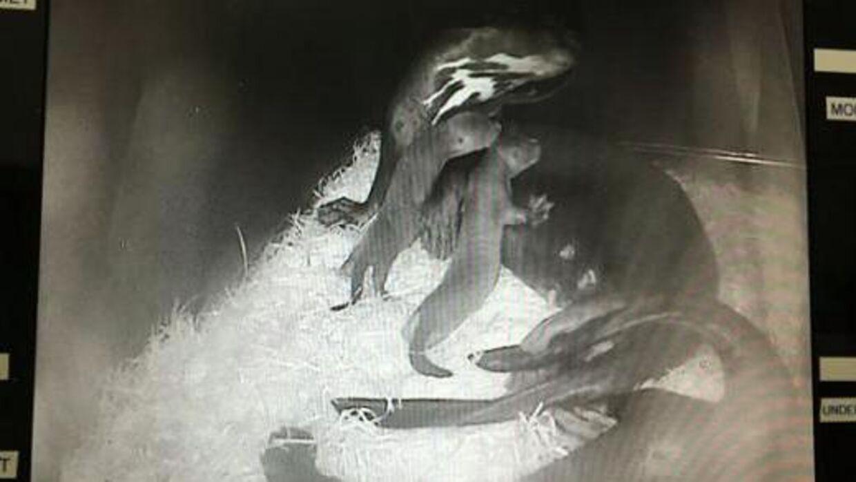 Videoovervågning af de nye kæmpeodderunger.