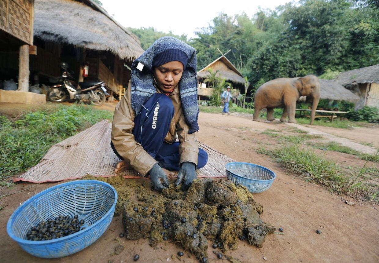 En af elefantpasser (mahout, red.) piller kaffebønnerne ud af elefantafføringen på et elefantcenter i Chiang Saen i det nordlige Thailand.