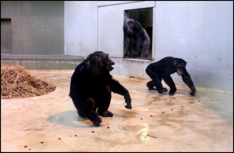 Abedansen foregår indenfor for dyrene i Zoologisk Have nytårsaften.