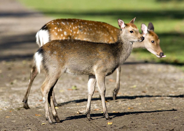 Langt de fleste dyr bliver påkørt i daggry eller skumringen. Hvis man ser en hjort krydse vejen, kan man godt gå ud fra, at der kan være flere på vej.