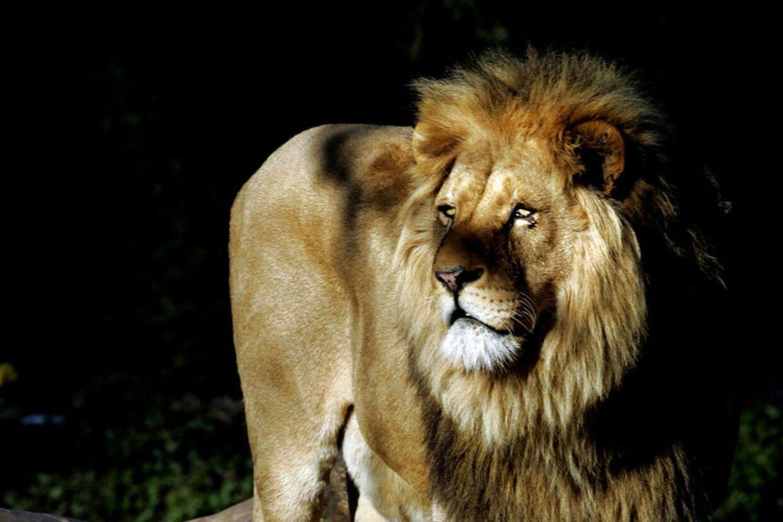 Københavns Zoo har oplevet massiv kritik for deres aflivning af løverne.
