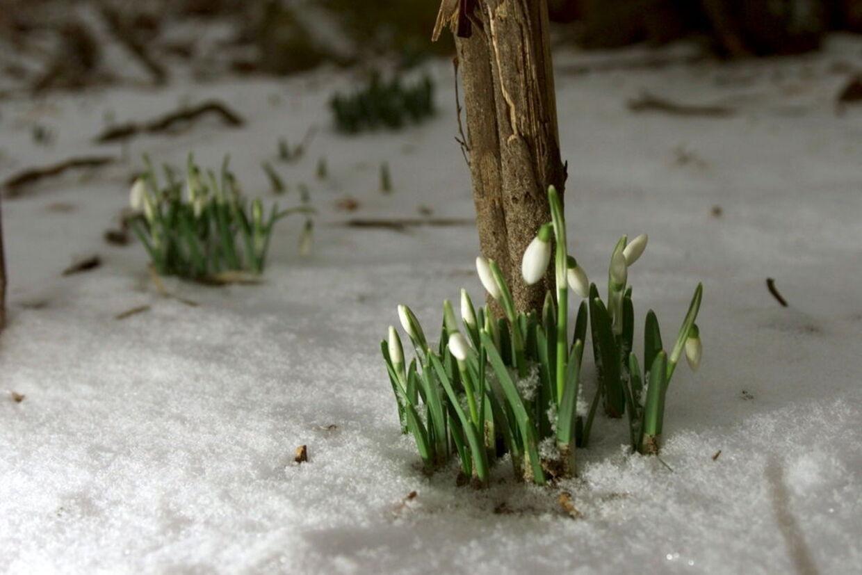 De Vintergækker der allerede nu titter frem, har været tidligt på den. Foråret lader nemlig vente på sig.