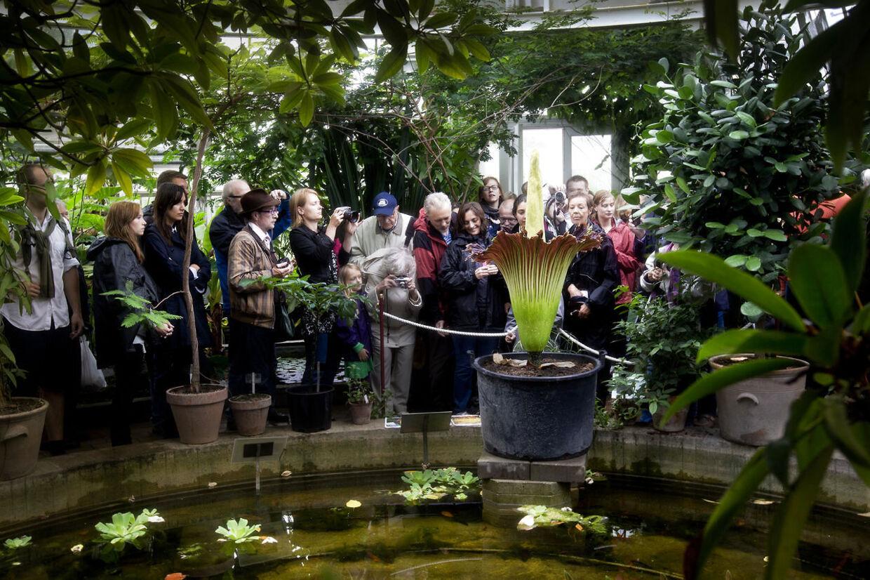 """Den eksotiske """"penisblomst"""" i Botanisk Have i København er tæt på at blomstre. Sidste gang det skete (foto) kom over 15.000 danskere forbi for at se blomsten."""