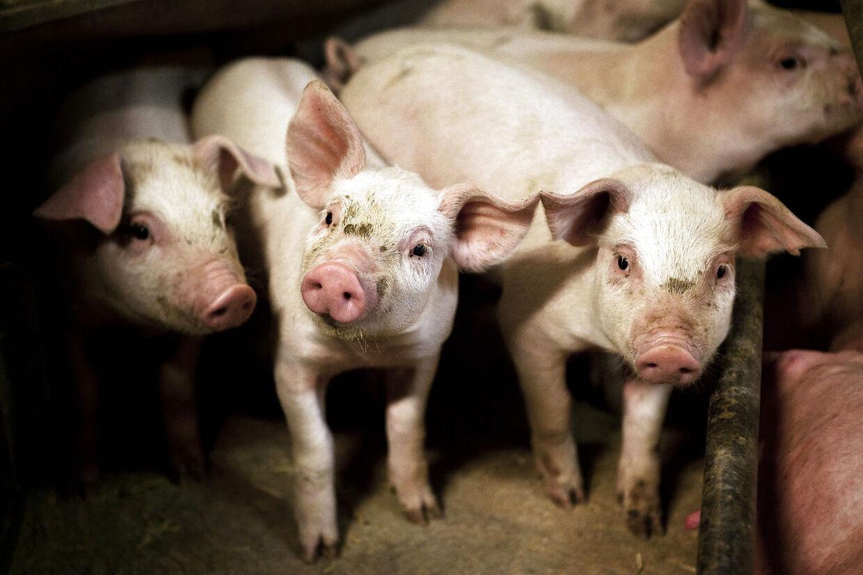 hvad koster halv gris