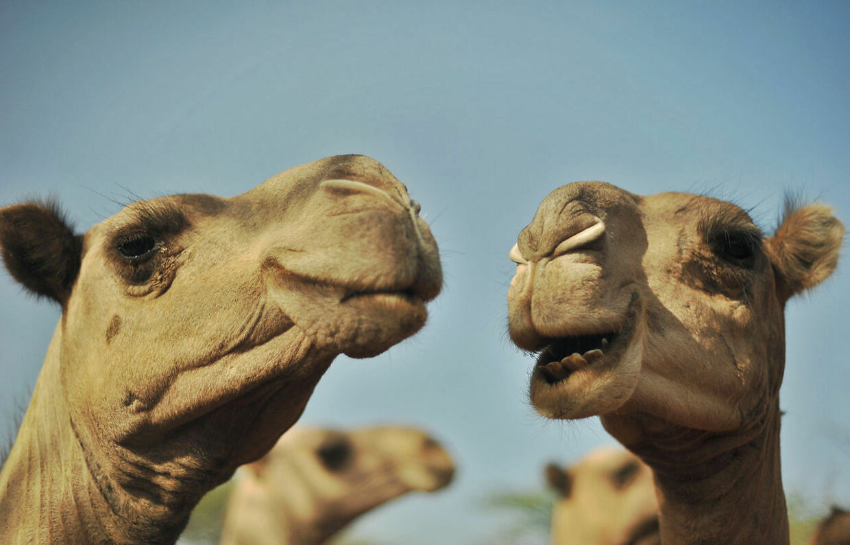 En kamel har fået dødelig virus